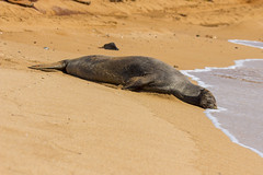 monkseal17un17-16 (divindk) Tags: hawaii hawaiianislands kauai neomonachusschauinslandi beach cute endangeredspecies hawaiianmonkseal lazy marine marinemammal monkseal seal sunshine whiskers
