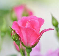 rosa (ecordaphoto) Tags: pink flower verde green nature rose d rosa sigma natura 105 5100 fiore boken macrofotografia