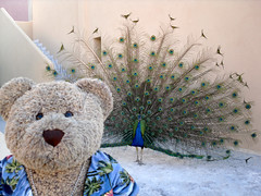 Peacock? What peacock??? (pefkosmad) Tags: bear vacation holiday ted bird june toy hotel george stuffed soft teddy display tail hellas fluffy peacock greece greekislands pefkos griechenland rhodes peafowl 2016 dodecanese finas pefki holibobs pefkoi tedricstudmuffin