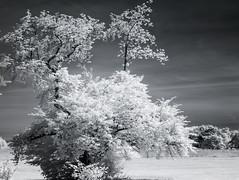 DSC_3946s (An Xiao) Tags: arboretum bonsai penjing