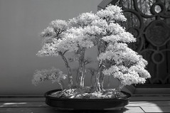 DSC_3854s (An Xiao) Tags: arboretum bonsai penjing
