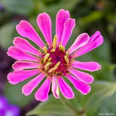 (Ken Mickel) Tags: floral flower flowers plants blossom blossoms bokeh closeup flora garden gardens nature upclose