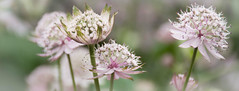 Astrantia (littlestschnauzer) Tags: astrantia delicate flowers fragile nikon d7200 nature gardens roundhay park june flowering uk yorkshire 2016 dreams haze floral white pink stems plant perennial garden pretty bokeh