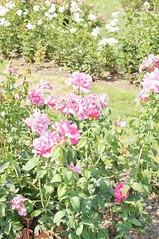 11053169_10153099685457076_6163162735226363480_o (jmac33208) Tags: park new york roses rose garden central schenectady