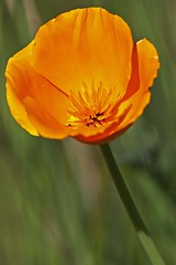 California Poppy 1 030212 (evimeyer) Tags: californiapoppy eschscholziacalifornica palosverdespeninsula