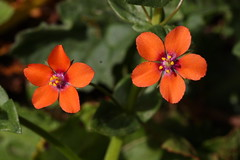 Scarlet Pimpernel (Anagallis arvensis) (Veg_Brush) Tags: flowers red green nature scarlet petals purple small stamens vegetation british hairless wildflower reproduction creeping pimpernel perennial anagallis arvensis sexaul
