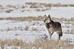 Alpha male wolf 712m (Daryl L. Hunter - The Hole Picture) Tags: usa unitedstates yellowstonenationalpark controversy haydenvalley endangeredspecies 712 alphawolf yellowstonewolves canyonpack recoveringspecies wolf712m hadenvalleywolves