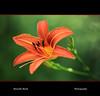 Lilium (Marcello Bardi) Tags: flower flowerthequietbeauty