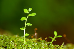 New Growth (David K. Werk) Tags: plant macro nature leaf moss small grow growth tiny