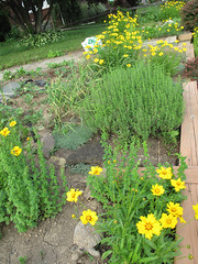 garden in june (lady-ursula) Tags: winter june garden potatoes tomatoes frontyard rhubarb thyme savory calendula coreopsis