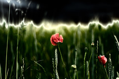 poppy (Margot in Love) Tags: red flower green rot field blossom feld meadows wiese poppy grn blume blte mohn 2013 pentaxart pentaxk5