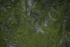 tansy reflections (focallocus) Tags: uk green nature reflections ian nikon availablelight foliage sooc d5100 focallocus