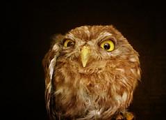 IMG_1295 ruffled little owl (pinktigger) Tags: italy bird nature animal italia owl friuli fagagna civetta oasideiquadris feagne