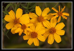 Yellow Flowers-1=