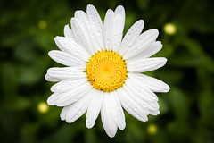 Daisies (s.chaffin) Tags: flowers plant macro nature yellow daisies ze makroplanart250