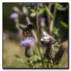 Bumbelbee takeoff (Kenray44) Tags: nature deutschland nikon natur ken insects bumblebee schaumburg insekten distel niedersachsen lowersaxony rinteln flyinginsects d300s kenduke humeln nikond300s elementsorganizer fliegendeinsekten kenray44 wesergebirges
