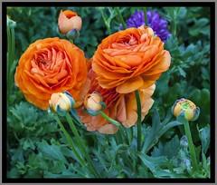 Toowoomba Flowers-002=