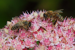 Bees (Eli Nelson) Tags: park pink flowers macro garden close bees bee honey