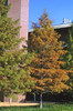"Bald Cypress • <a style=""font-size:0.8em;"" href=""http://www.flickr.com/photos/101656099@N05/9736794724/"" target=""_blank"">View on Flickr</a>"