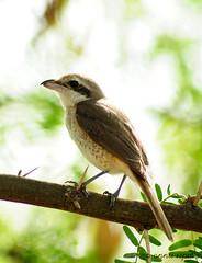 Brown Shrike (----- ^ _ ^ ------) Tags: wild brown birds nikon philippines dumaguete oriental negros shrike migrant onnie
