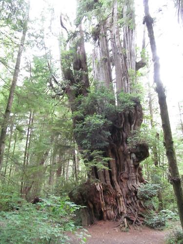 tree washington olympicpeninsula cedar washingtonstate olympicnationalpark bigcedartree