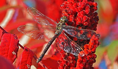Blazing Red of Autumn (Jan Nagalski (jannagal)) Tags: autumn red plant macro fall nature insect dragonfly bokeh michigan fallcolors wildlife sumac autumncolors darner odonata nativeplant odonate shadowdarner aeshnaumbrosa canon60d hollandponds canon55250mmlens jannagal jannagalski