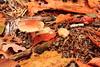 Paddo time (15-10-2013) (RW-V) Tags: autumn mushrooms herbst herfst pilze paddestoelen champignons canonefs1755mmf28isusm hoogbuurlo canoneos60d lautumne