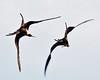 Swirling Frigatebirds over Santiago Island (Susan Roehl) Tags: ecuador ngc npc april jamesbay frigatebirds specanimal santiagoisland abigfave thegalapagos galapagos2013