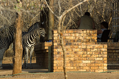 Having friends round (aj 1982) Tags: africa park travel house holiday man southafrica south bbq humour safari human zebra barbeque striped kruger stripy