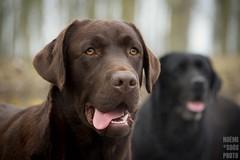 DSC_0586 (Noemi D.Soos) Tags: dog brown white black yellow dark lab labrador chocolate royal retriever choco