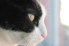 Pikachu's face (Crispula Sintax) Tags: cats gato felino miradas