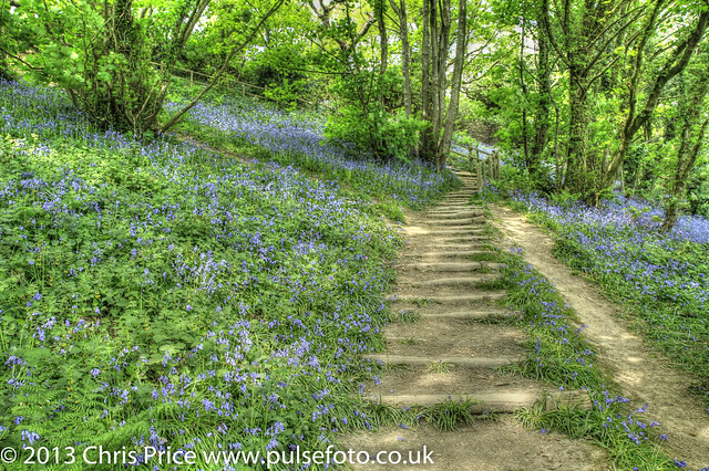 Bluebells at Hastings Country Park