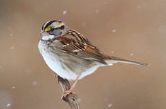 White-throated Sparrow In Snow Storm (Steve Byland) Tags: snow bird nature canon sparrow 7d zonotrichia whitethroated albicollis vision:sunset=0574 vision:outdoor=0597