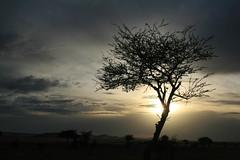 Treelhouette (Nico Nie) Tags: sunset sun tree silhouette sonnenuntergang desert morocco marocco sonne baum marokko wste schattenriss umriss