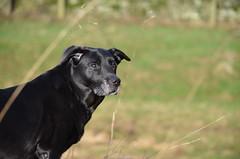 Walk Time (amber_kirtley) Tags: dog black dogs labrador