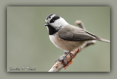 Mountain Chickadee (ctofcsco) Tags: 400mm 50d bird canon chickadee closeup colorado coloradosprings ef25 explore extensiontube mountainchickadee nature unitedstates usa wildlife ef400mm f28l ii usm ef400mmf28liiusm america northamerica telephoto bokeh co best wonderful perfect fabulous great photo pic picture image photograph