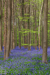Hallerbos (robvanesch (www.ruimtesinbeeld.nl)) Tags: wood blue light wild plant flower color tree green nature floral beautiful beauty bluebells fairytale forest woodland season landscape carpet outdoors countryside leaf spring woods colorful europe pattern colours belgium bell seasonal scenic fresh foliage stems april serene wildflowers recreation wildflower bluebell idyllic halle beech scent hyacinth springtime fragrance blooming hallerbos blubells primeval