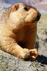 IMG_8507s (saish746) Tags: winter dog india mountain snow mouse pig rodent furry squirrel squirrels rat day eating teeth tail large ground social woodchuck ants tibetan marmot prairie kashmir northern hog leh himalayan ladakh roti jammu hibernate yellowbellied peri parantha chapati burrow marmota whistlepig longtailed rockpiles marmott golddigging grounghog landbeaver himalayanus saish746