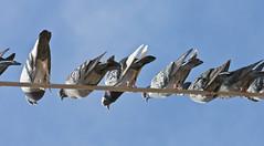 Los Pichones -- Danger Below!!! Rock Doves (Columba livia); Albuquerque, NM, Los Poblanos Open Space [Lou Feltz] (deserttoad) Tags: mountain newmexico bird nature wire desert dove humor wildbird