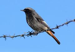 Male  Black Redstart (Ger Bosma) Tags: male bird redstart phoenicurusochruros blackredstart hausrotschwanz codirossospazzacamino rabirruivopreto colirrojotizn rougequeuenoir zwarteroodstaart  kopciuszekzwyczajny mygearandme mygearandmepremium mygearandmebronze mygearandmesilver 2mg17687afiltered