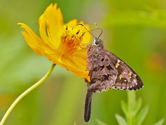 Lilac-banded Longtail (Urbanus dorantes) (Rodrigo Conte) T