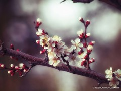 Red Plum Blooms wm (Ink Splat Photography) Tags: flowers whiteflowers plumflowers redplum redplumflowers