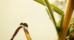 Ladybird (WelshPixie) Tags: macro insect bugs ladybird ladybug