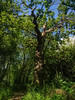 Old tree (Мaistora) Tags: park old uk blue trees wild summer england sky sunlight lake hot tree green nature leaves sunshine mobile trek river outdoors reading spring sticks bush woods warm raw branch phone britain outdoor path walk twyford branches sony cellphone dry sunny lakeside spooky growth smartphone jungle gnarly aged process berkshire footpath bushes z1 postprocess android crooked edit springtime loddon lightroom wokingham thamesvalley charvil maistora xperia yahoo:yourpictures=weather notsonning