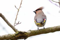 HNS_2830 Pestvogel (Bombycilla garrulus)