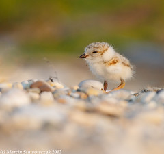 Tiny plover (v4vodka) Tags: nature animal wildlife chick birdwatching plover pipingplover shorebird charadriusmelodus pipingploverchick birdbirding sieweczkablada