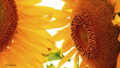 Sunny days (wendeee16) Tags: flower yellow seeds sunflower allora