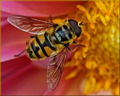 Skull hoverfly or dead head fly (Foto Martien) Tags: dahlia flower holland macro netherlands dutch insect europe nederland honey nectar pollen alpha geotag insekt veluwe bloem a77 macrophoto gelderland geotagging honing harskamp zweefvlieg stuifmeel macrofoto myathropaflorea macroopname zorgboerderij totenkopfschwebfliege doodshoofdzweefvlieg doodskopzweefvlieg europeanhoverfly zorginstelling éristaledesfleurs passiflorahoeve deadheadfly martienuiterweerd martienarnhem gemeinedoldenschwebfliege minoltamacro100mm28mm fotomartien mimicrymetdehoningbijapismellifera mimicrywithhoneybeeapismellifera syrphetêtedemort sonyslta77v sonyalpha77 geotaggedwithgps skullhoverfly
