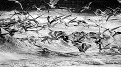 Seagull Frenzy 2 (mootzie) Tags: sea seagulls white feet beach birds grey wings waves windy aberdeen snowing flapping froth webbed