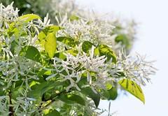( ) (eriko_jpn) Tags: whiteflower  chionanthusretusus